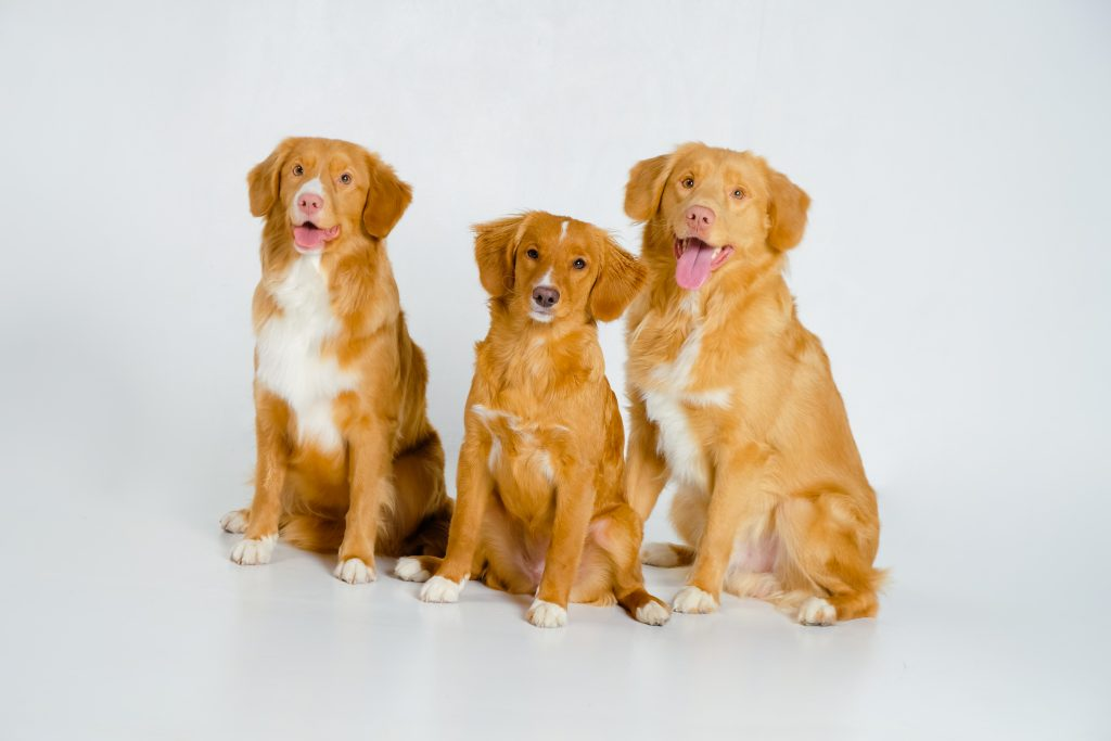 Nova Scotia Duck Tolling Retrievers