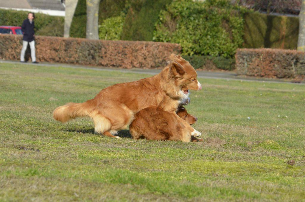 Toller erfelijkheid jachthond